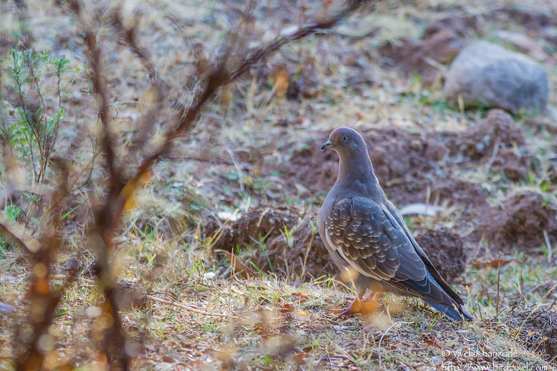 Spot-winged Pigeon - Record - Cusco - Peru
