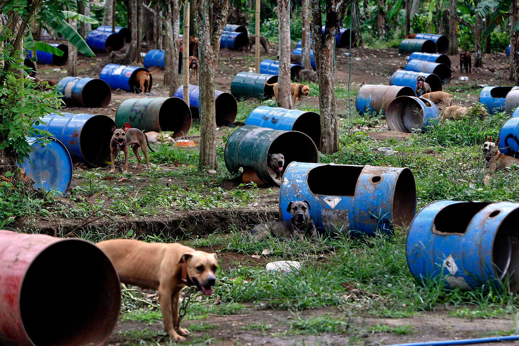 . In this April 3, 2012 file photo, more than 200 pit bulls and other breeds are chained in their respective steel drum cages at a coffee farm lot in San Pablo city, Laguna province, south of Manila, Philippines, following their rescue from South Korean nationals. Dozens of pit bulls rescued from a dogfighting ring were being put down by activists who said there were no facilities to rehabilitate them and prevent them from again being used in underground arenas. (AP Photo/Bullit Marquez, File)