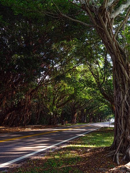 Road Under Banyan Trees, Hobe Sound, Florida (49379)