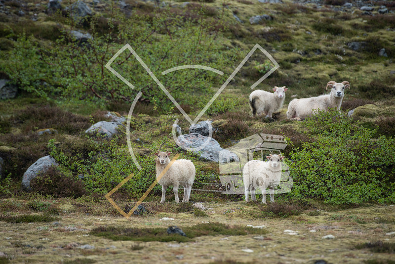 Encounter with a herd of Icelandic sheep in the countryside