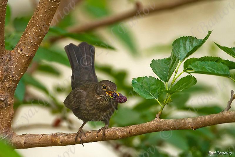 שחרור - Common Blackbird (Turdus merula) 7