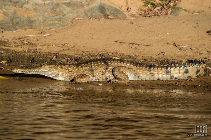 Freshwater Crocodile on the Katherine River
