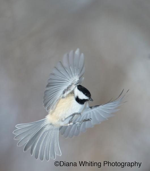 Chickadee in Flight