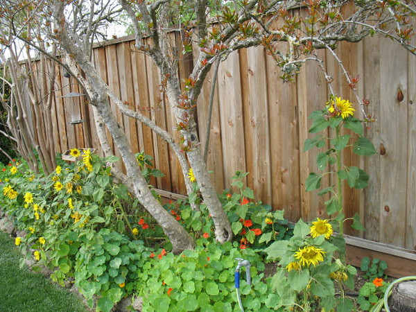 The Sunflowers are from the black oil sunflower seeds that have sprouted from the bird feeder. The orange and yellow flowers are nasturtiums. The arching branch in the upper-right is our non-fruiting pomegranate, which makes some spectacular blooms.