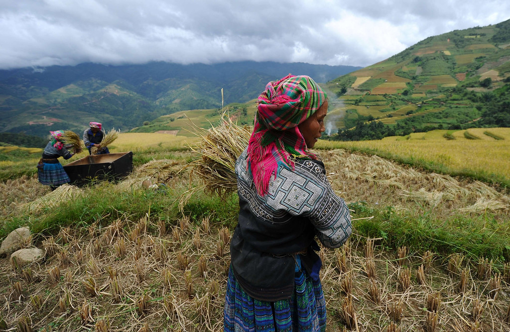 . This picture taken on October 1, 2013 shows Hmong hill tribe women harvesting rice on terrace rice fields in Mu Cang Chai district, in the northern mountainous province of Yen Bai, Vietnam. The local residents, mostly from the Hmong hill tribe, grow rice in the picturesque terrace fields whose age is estimated to hundreds years. Due to hard farming conditions, especially irrigation works, locals produce only one rice crop per year. In recent years a growing numbers of tourists have been attracted by the beautiful landscapes created by the region\'s rice terrace fields. HOANG DINH NAM/AFP/Getty Images