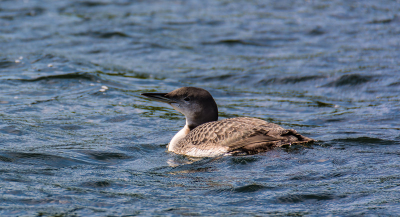 Breeding Female Loon