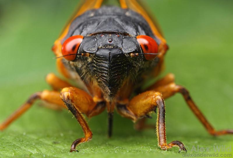 Magicicada periodical cicada.  Allerton Park, Illinois, USA