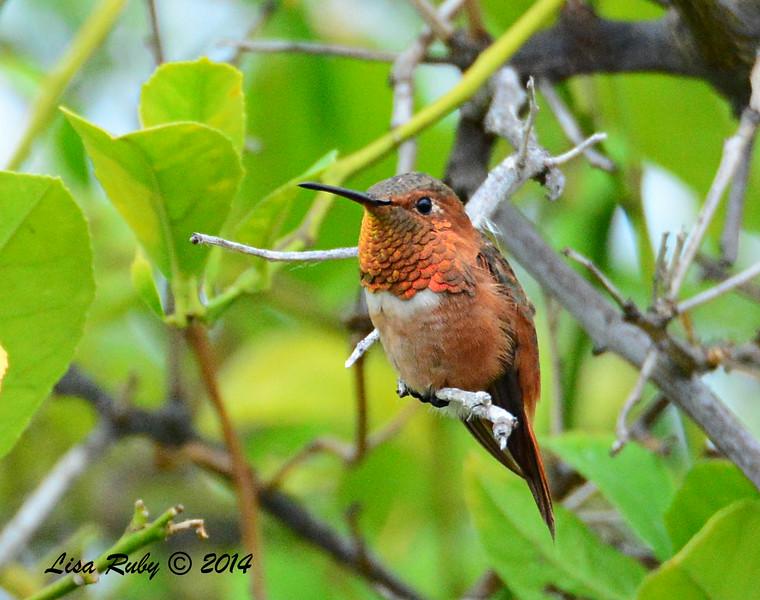 Resident Male Allen's Hummingbird - 8/2/2014 - Backyard, Sabre Springs