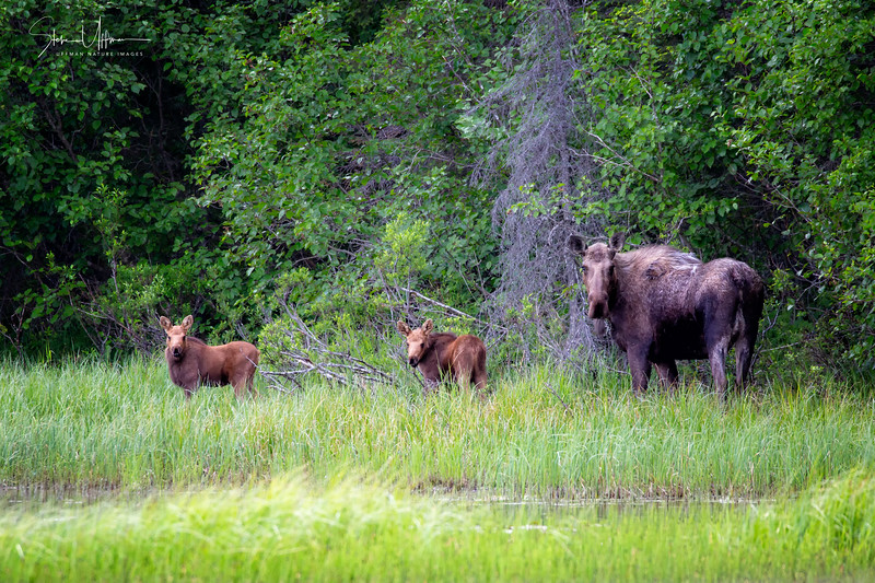 Moose on the loose4 (1 of 1)-2.jpg