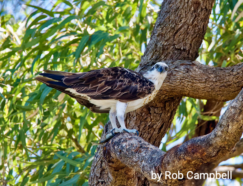 Osprey with fish, watching us. Swan River bank, Perth, Western Australia.
