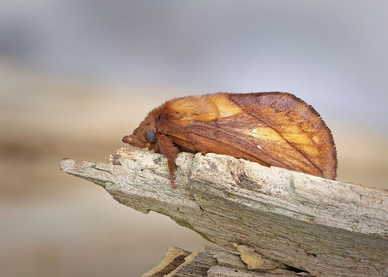 Drinker moth