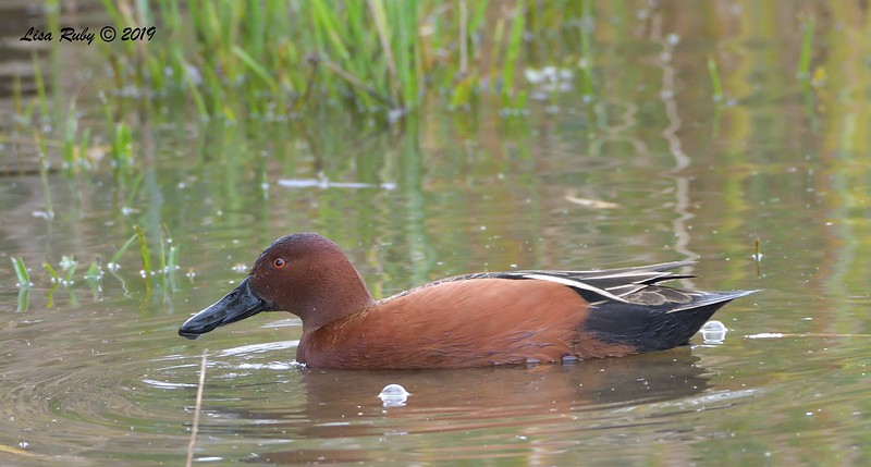 Cinnamon Teal - 12/22/2019 - Lake Wohlford area near ranger station
