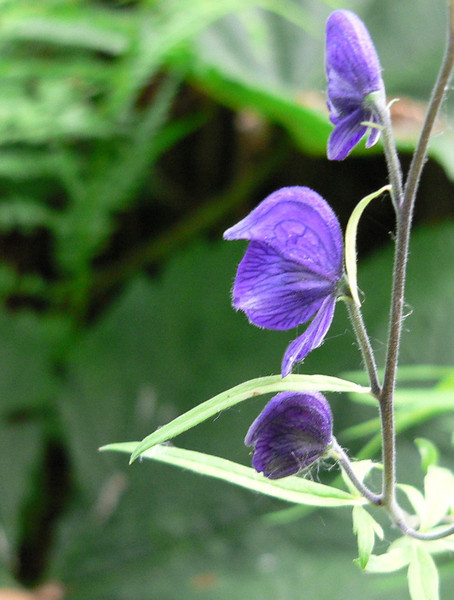 monkshood-kenaipen.jpg