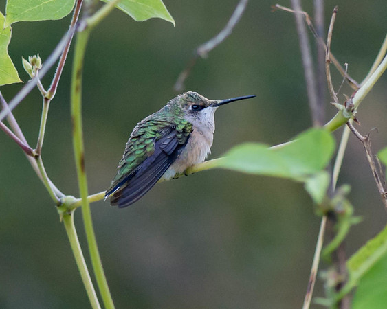 10-6-14 Misc Hummingbird, Chadds Ford, PA