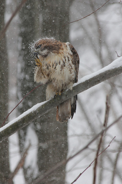 Snow Covered Hawk