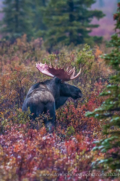 Arrival of Fall in Denali Bull Moose Denali National Park, Alaska © 2014