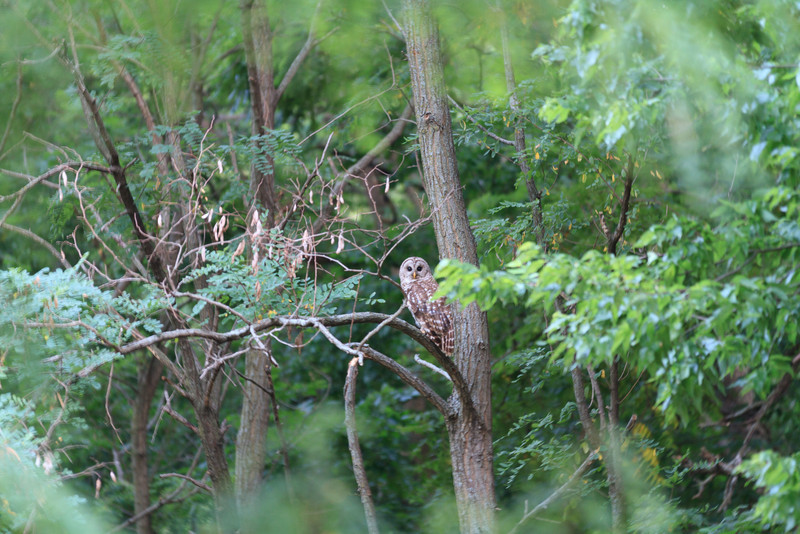 2011_07_26 Owls 006.jpg
