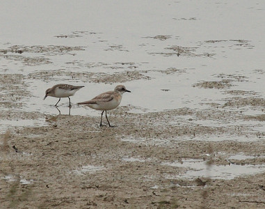 Sand Plover - new edits