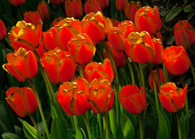 tulips_06401_gilded_orange-sm.jpg