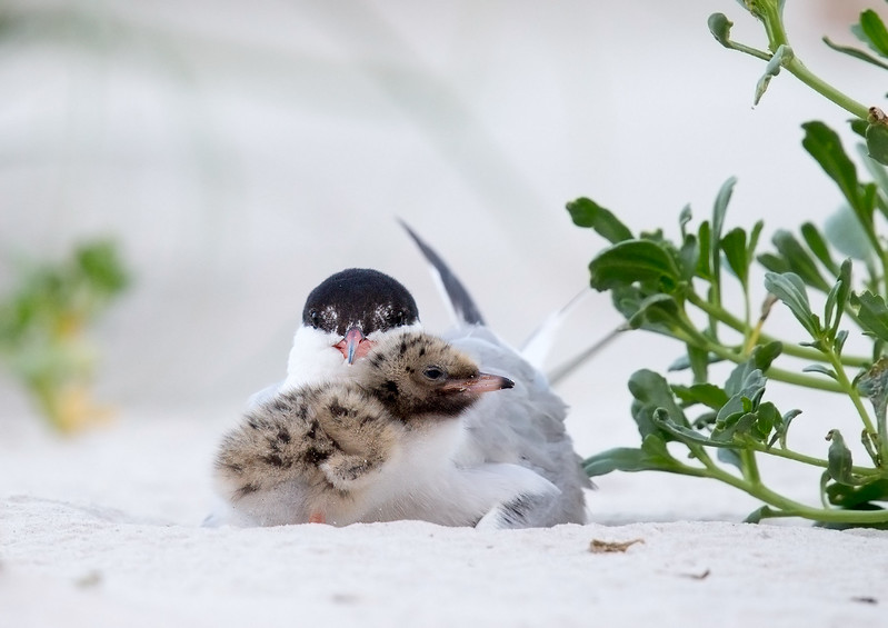 Common Tern Parent and Chick
