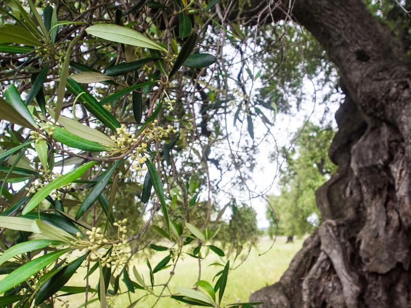 brindisi brancat olive trees 4.jpg