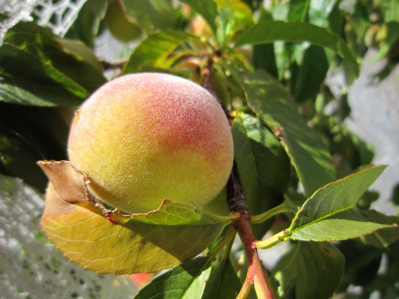 Fruit growing on fruit trees