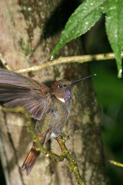 Brown Inca Ecuador