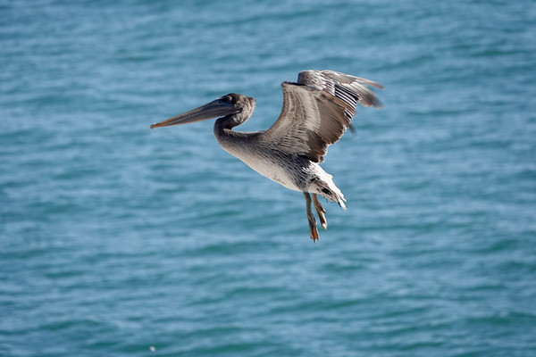 The Pelicans of Pismo Beach