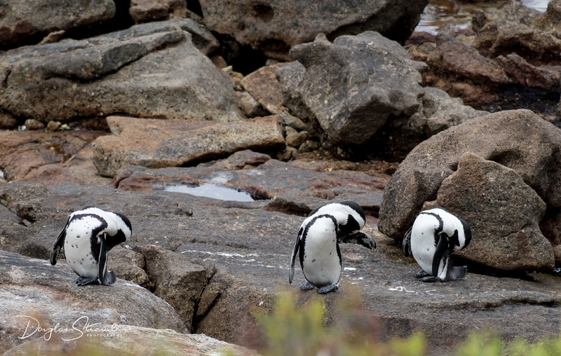 Penguin Colony at Simon's Town