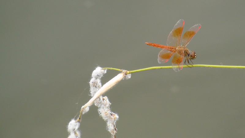 Brachythemis contaminata, Male, Siem Reap, Cambodia