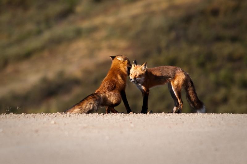 Red Fox couple Denali National Park, Polychrome Pass Alaska © 2009