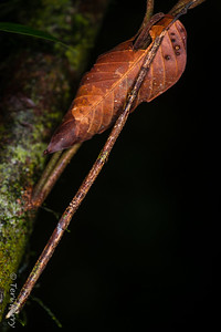 INSECT - stick insects-2346