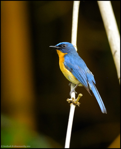 Tickells' blue flycatcher....