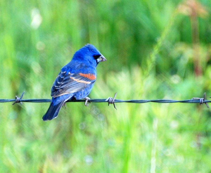 blue grosbeak fence1.jpg