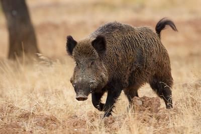 Wild boar (Jabalí)