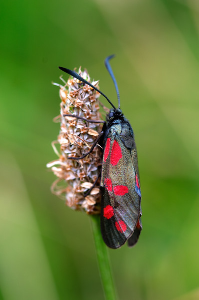 Downs - Burnet Moth - 6286.jpg