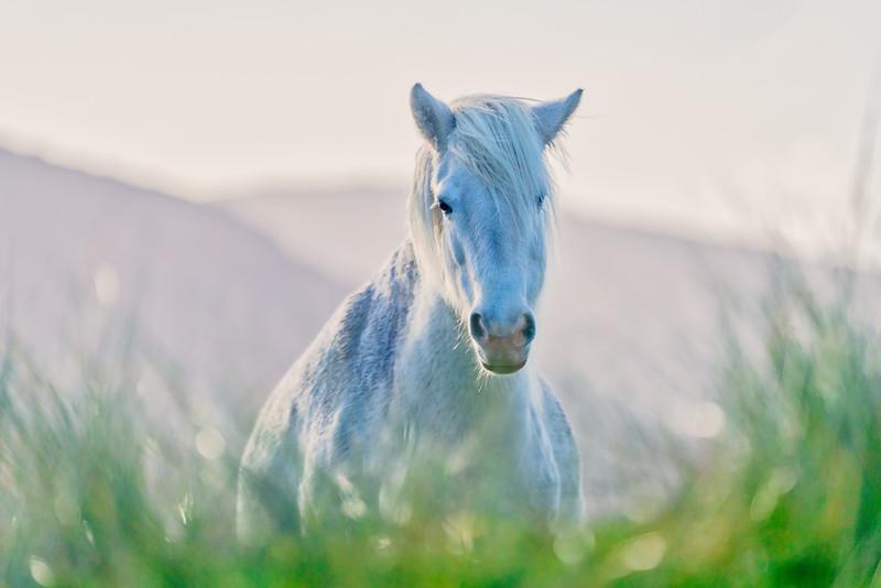 White Stallion, Isle of South Harris