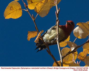 RedBreastedSapsuckerA82766.jpg