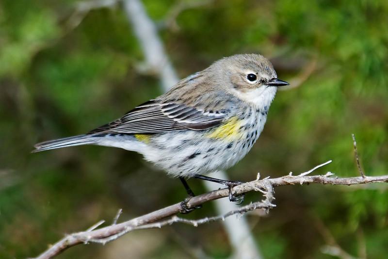 Warbler - Yellow-rumped - Altamaha WMA - GA
