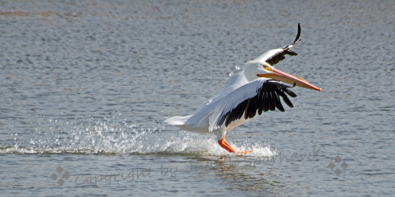 Landing Gear Down ~ This American White Pelican was coming in for a landing, at Salton Sea State Recreation Area.