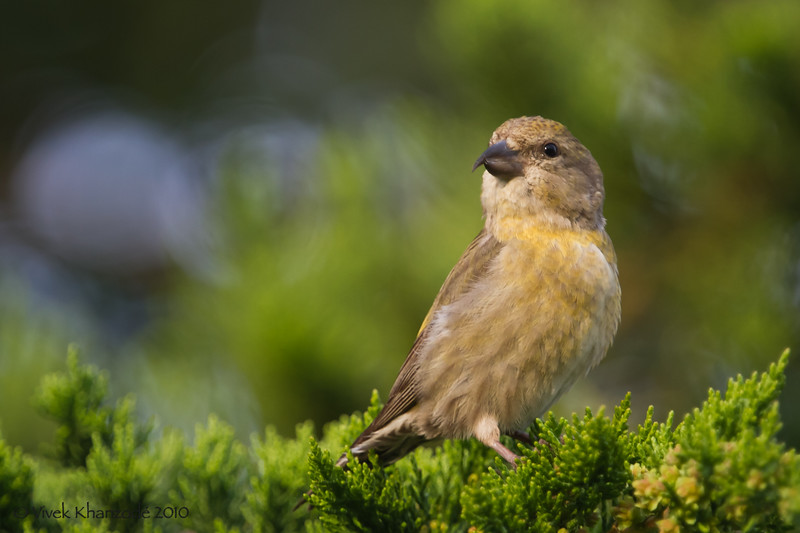 Red-Crossbill-2010-04-7237.jpg