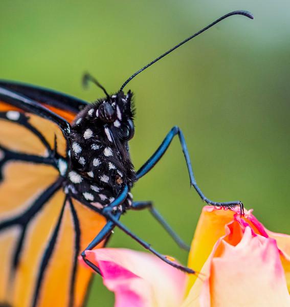 Monarch Butterfly-34.jpg