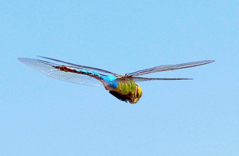 dragonflyinflight2.jpg