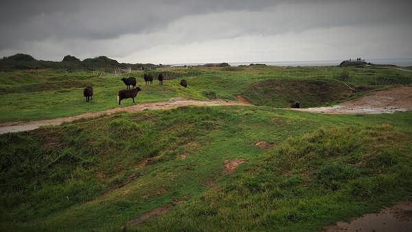 Cows grazing war damaged land