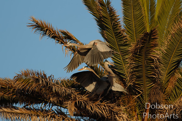 Great Blue Herons - Flight