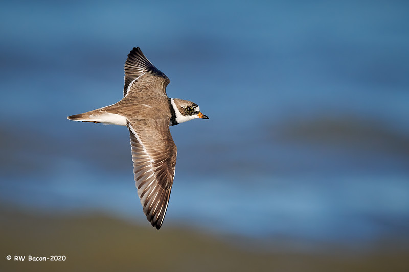Semipalmated Plover Topside.jpg