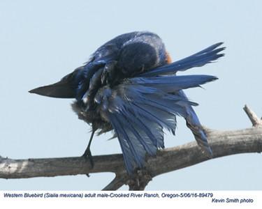 Western Bluebird M89479.jpg