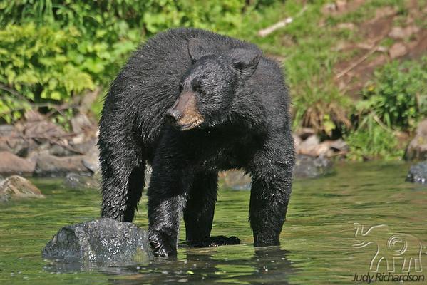 Bears of Wolverine Creek