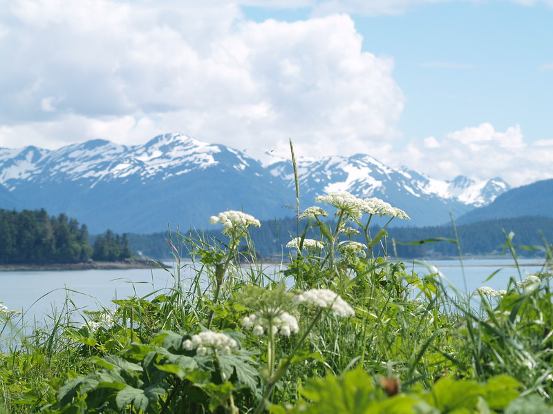 Queen Anne's Lace and the Chilkoot Range in the background at Eagle Beach