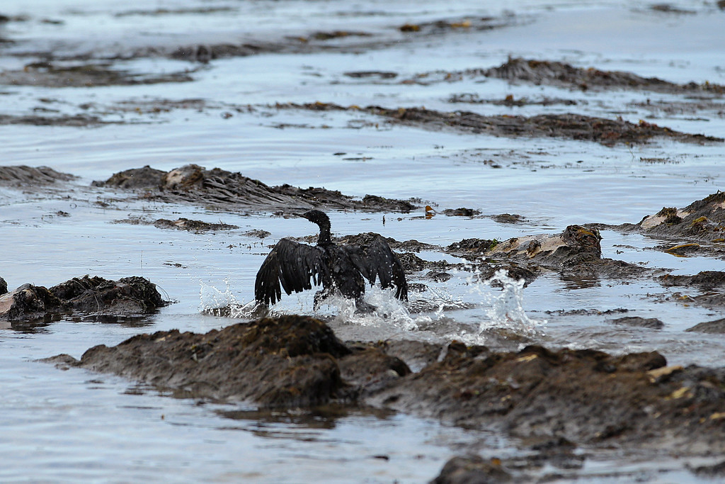 . A bird covered in oil flaps its wings at Refugio State Beach, north of Goleta, Calif., Thursday, May 21, 2015. More than 7,700 gallons of oil has been raked, skimmed and vacuumed from a spill that stretched across 9 miles of California coast, just a fraction of the sticky, stinking goo that escaped from a broken pipeline, officials said. (AP Photo/Jae C. Hong)